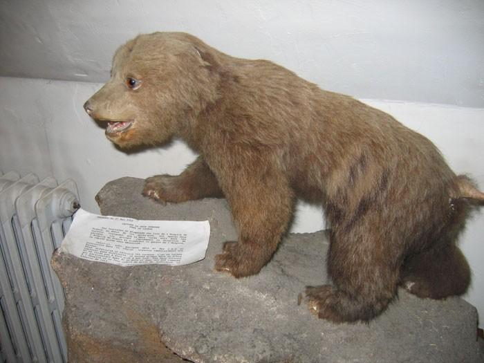 Ourson au Musée du Pays de Luchon