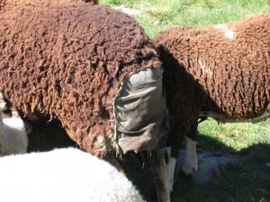 A sheep contraceptive
