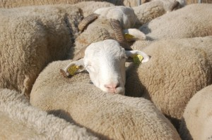 Contented sheep