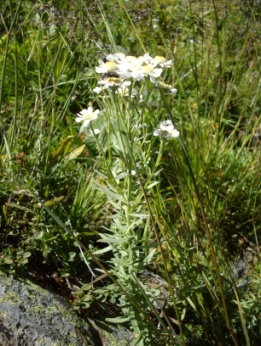 Achillée des Pyrénées (Achillea ptarmica, L. subsp. Pyrenaïca, Rouy) Sneezewort, Sneezeweed, Fair-maid-of-France, Goose tongue, Sneezewort yarrow, Pellitory