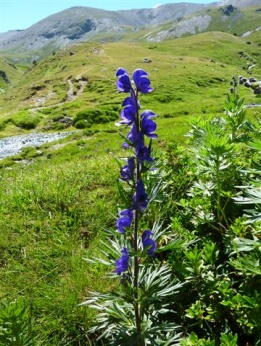 Aconit napel (Aconitum napellus, L.) Monkshood, Aconite, Wolf's  bane