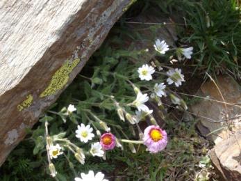 Céraiste des Alpes (Cerastium alpinum, L.) Alpine mouse-ear