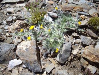 Epervière à tiges courtes (Hieracium breviscapum, De Candolle) Hawkweed