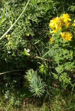 Millepertuis des montagnes (Hypericum montanum, L.) St John's-wort
