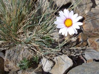 Leucanthème des Alpes (Leucanthemum alpinum, L.) Daisy