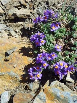 Linaire des Alpes (Linaria alpina L.) Alpine toadflax