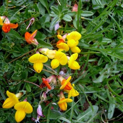 Lotier des Alpes (Lotus alpinus, Schleicher) Alpine Birdsfoot-trefoil*