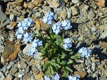 Myosotis des Pyrénées (Myosotis pyrenaïca, Pourret) Pyrenean forget-me-not