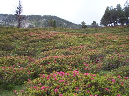 Rhododendron (Rhododendron ferrugineum, L.) Rhododendron*