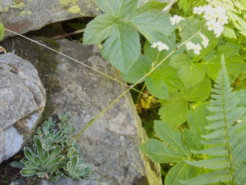 Saxifrage paniculée (Saxifraga paniculata, Miller) White mountain saxifrage