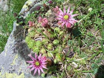 Joubarbe des montagnes (Sempervivum montanum, L.) Mountain houseleek*