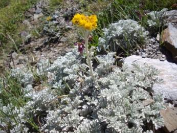 Séneçon à feuilles blanches (Senecio leucophyllus, De Candolle)