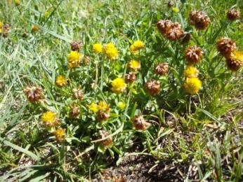 Trèfle bai (Trifolium badium, Schreber) Brown clover