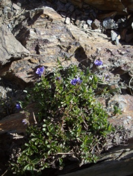 Véronique des Alpes (Veronica alpina, L.) Alpine speedwell