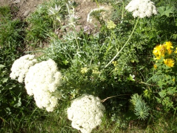 Persil des Isards (Xatardia scabra, Meissner) Parsley chamois