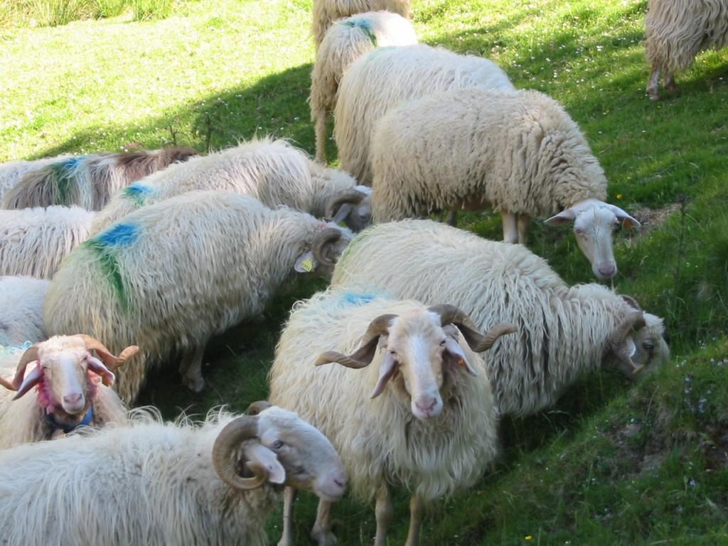 Brebis Basco-béarnaises, fraîchement arrivées pour les vacances d'été.