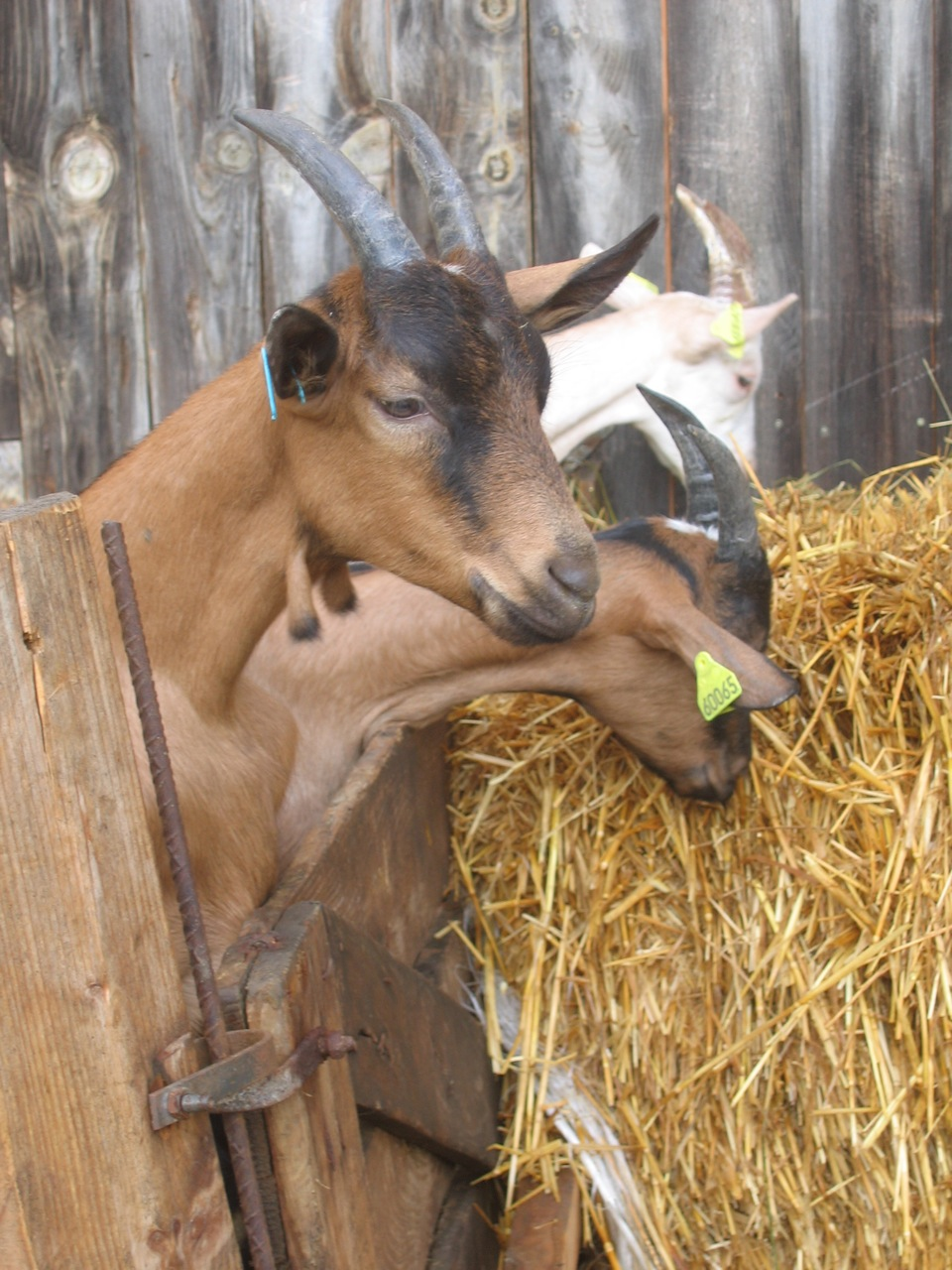 Chèvres à Rouze, dans l'Ariège