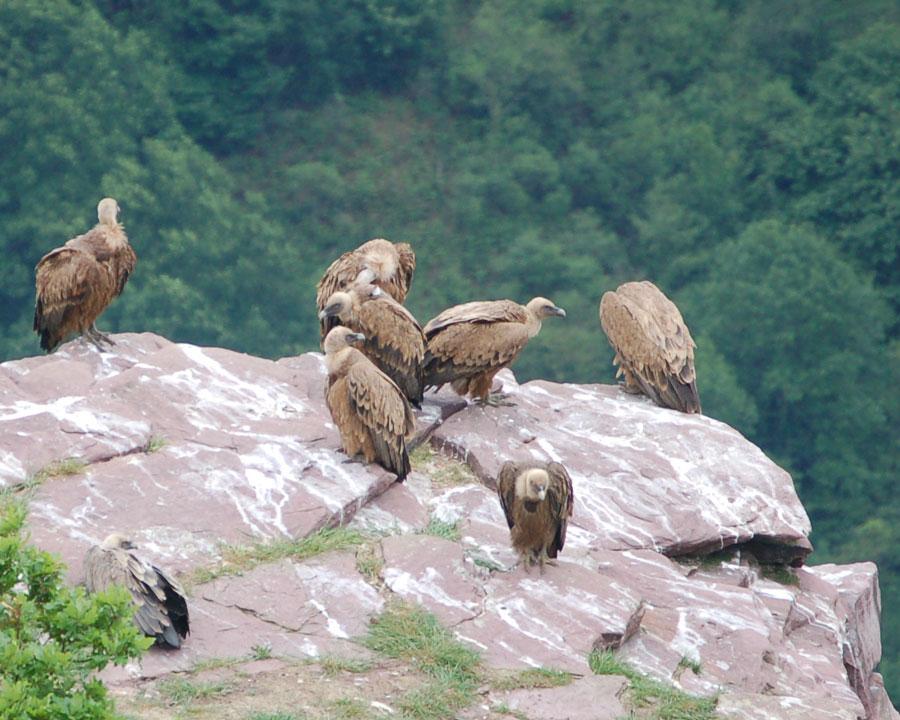 Les vautours fauves du pays Basque qui attendent votre dépouille