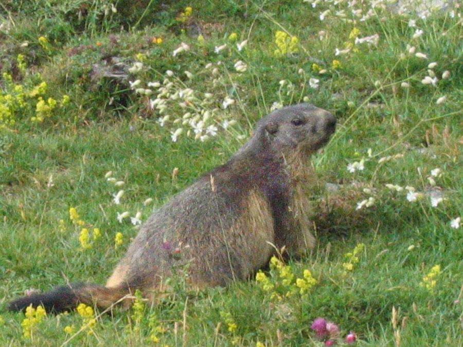 Les marmottes étaient réintroduits en 1948 ; l'ours est là depuis toujours.