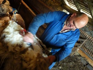 Sheep shearing in Navarre, Spain