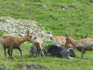 Isards in the Pyrenees