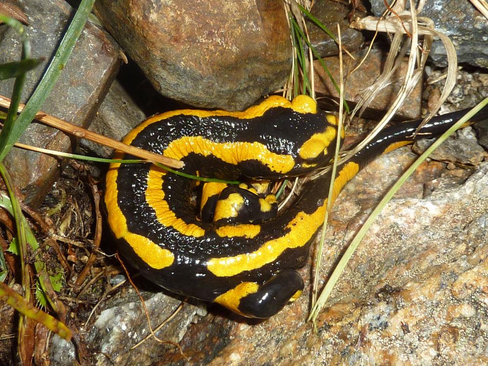 Fire salamander near Estós