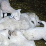 Me too? Lamb, patou and pups in the barn