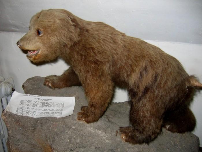 Ourson capturé en 1952 près de l'Hospice de France, maintenant au musée de Bagnères de Luchon