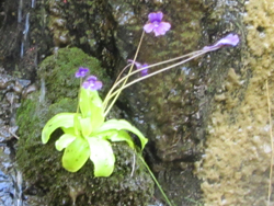 Grassette (Pinguicula vulgaris)