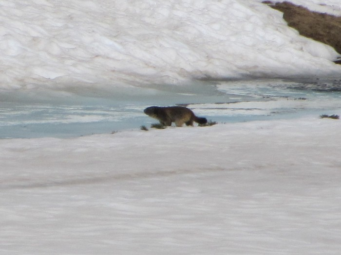 Marmotte crossing a frozen lake