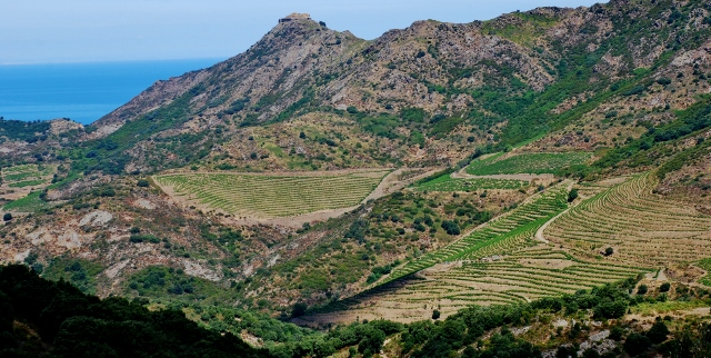 Vines above Banyuls on the GR10