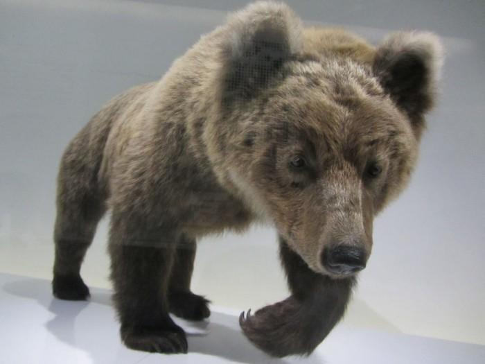 Cannelle, la dernière ourse pyrénéene, naturalisé, au Muséum de Toulouse