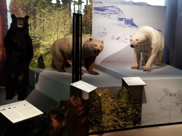 Ours à collier, ours brun, ours polaire au Muséum de Toulouse