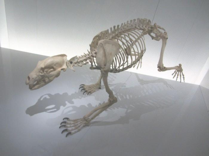 Squelette de l'ours Papillon au Mus/eum de Toulouse