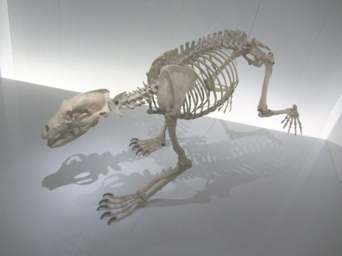 The skeleton of Papillon, a Pyrenean brown bear