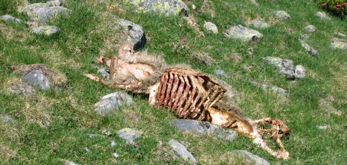 Le cadavre d'une brebis : un mets favorite pour les vautours fauves