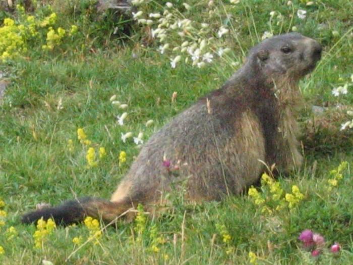 Une marmotte près de Gavarnie