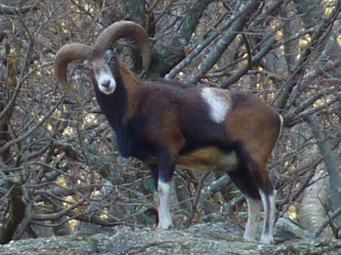 Un mouflon dans le Carroux (photo Laurence Terminet)