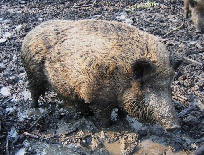 wild boar -- photo : GerardM, Wikipedia