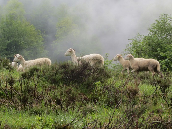Sheep in the Ariège