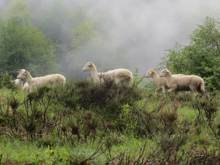 GR10: sheep in the Ariège