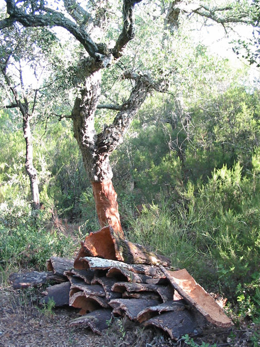 Cork oak in the Albères, at the eastern end of the Pyrenees
