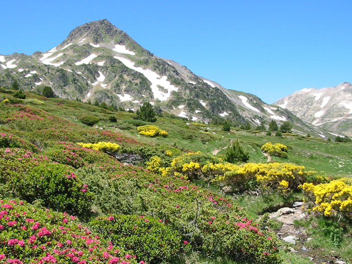 Rhododendrons and broom in flower between the Bésines hostel and the Bouillouses lakes on the GR10