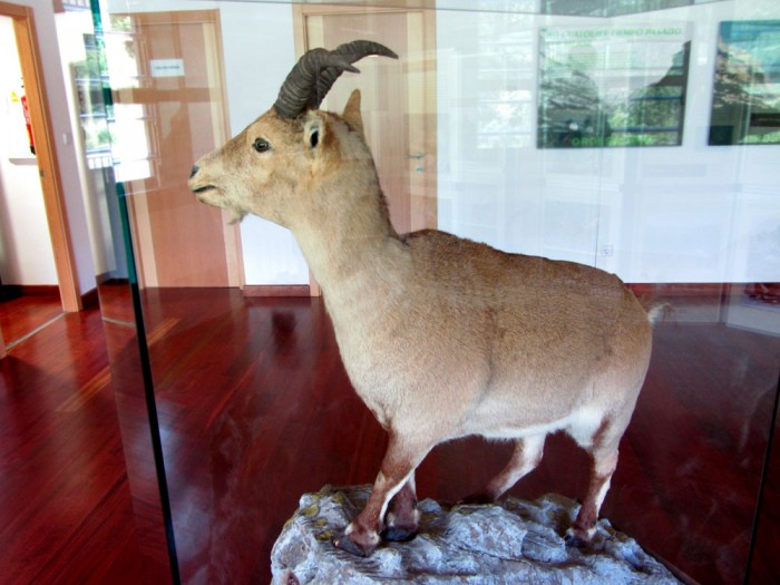 Laña, the last Pyrenean ibex, in the visitor centre in Torla (GR11)