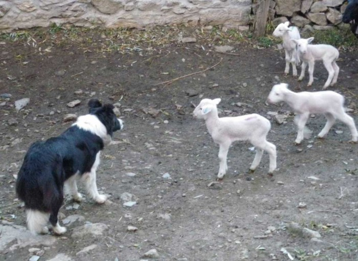 Border collie and lambs on the farm