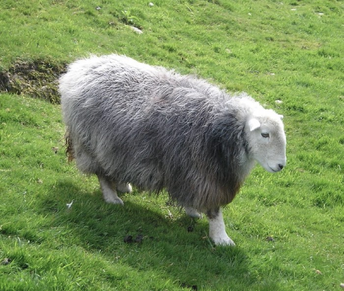Herdwick ewe, by hollidaypics (Creative Commons)