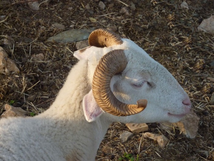A tarasconnaise sheep, typical of the Ariège