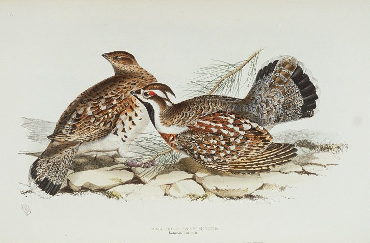 Hazel grouse by John and Elizabeth Gould