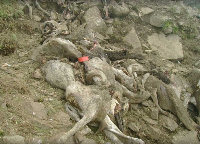 Dead sheep after an attack in the Orlu valley