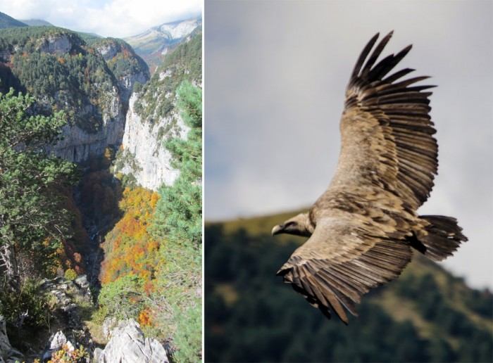 Revilla gorge (left) and griffon vulture seen there (right)